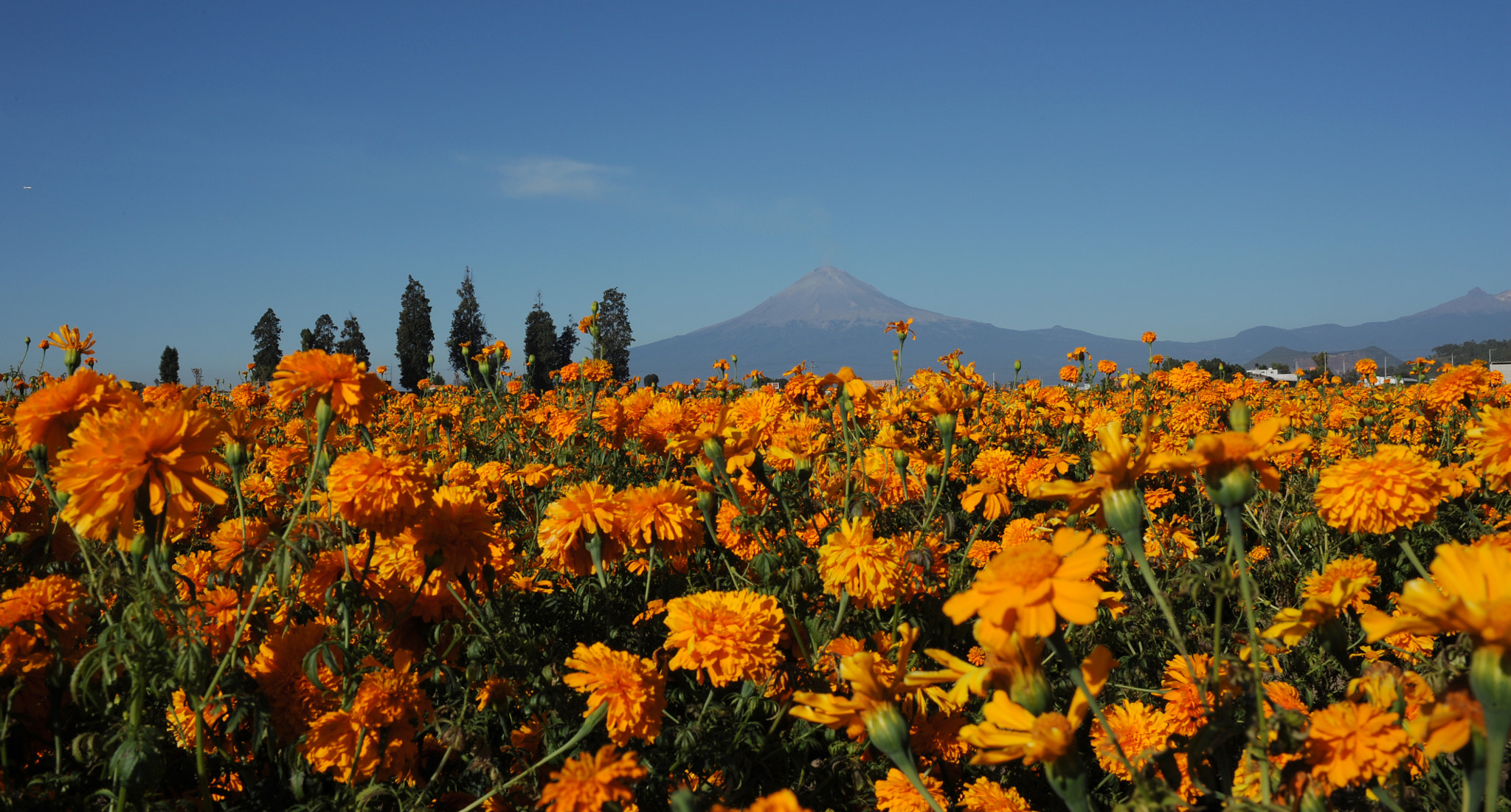 Photograph Cempazuchitl, orange flowers and Volcano by Cristobal Garciaferro Rubio on 500px