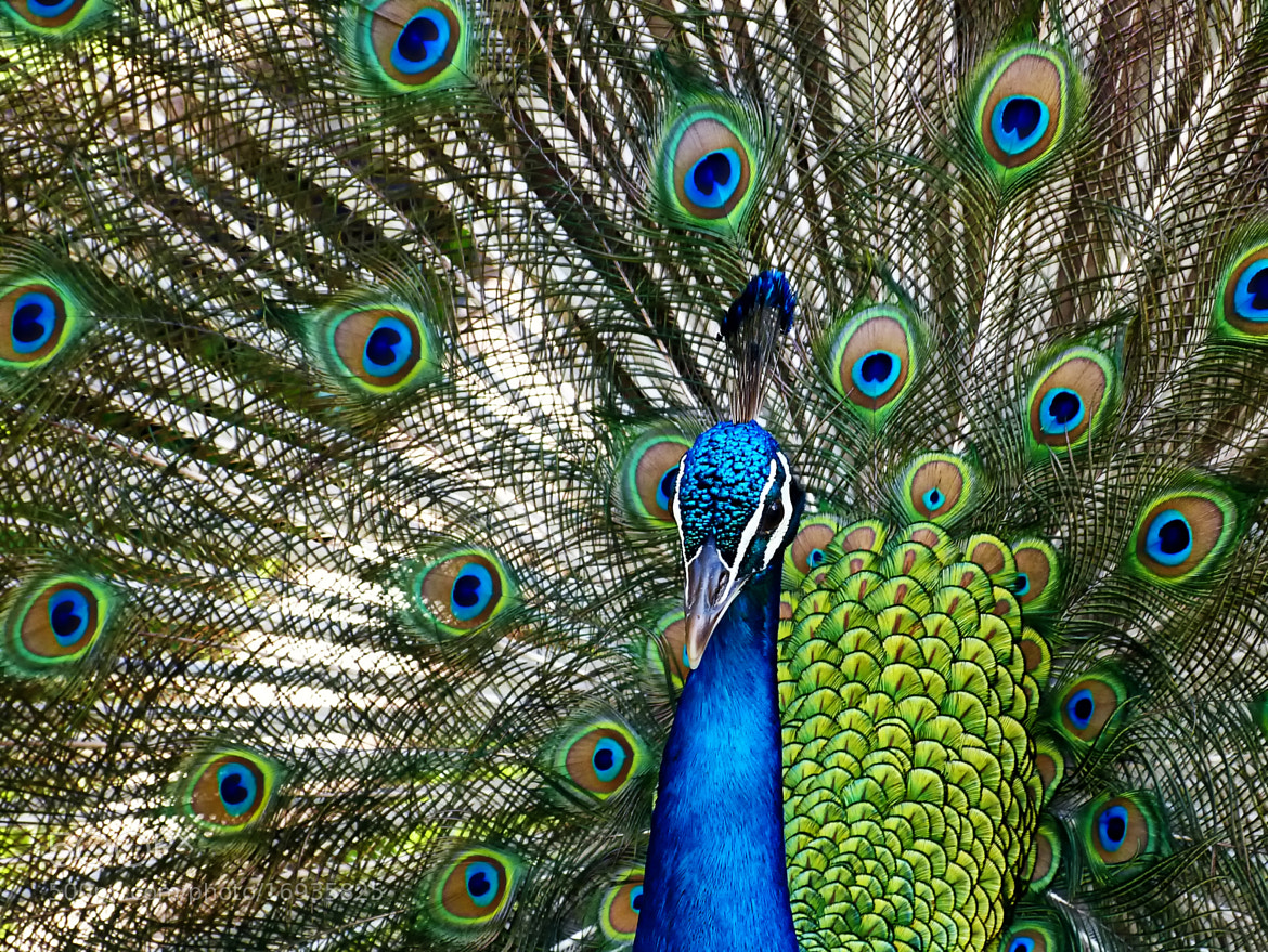 Photograph Peacock by Pedro Henrique Evangelista on 500px