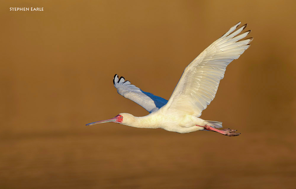 Photograph African Spoonbill by Stephen Earle on 500px