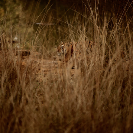 From Tadoba Tiger Reserve, Canon EOS-1D X, Sigma 120-400mm f/4.5-5.6 APO DG OS HSM