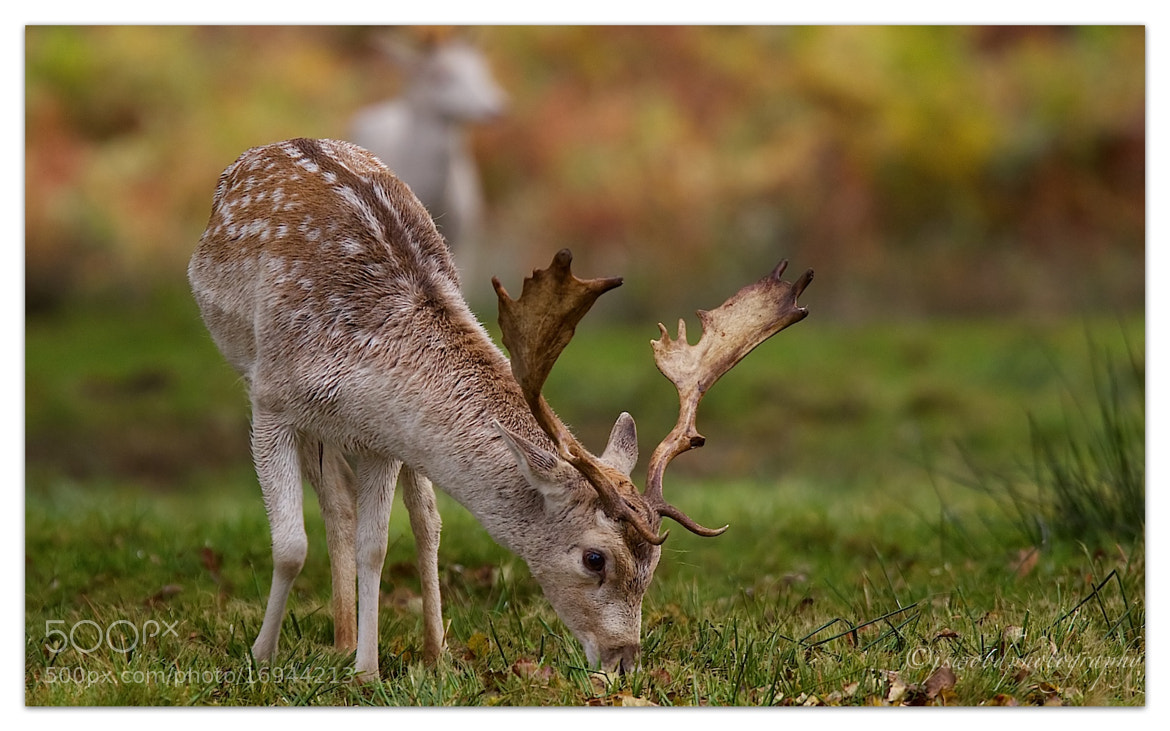 Photograph Fallow Deer by Jason Wood on 500px