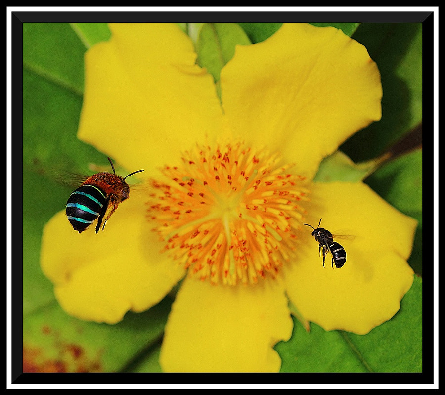 Blue banded bumble bee