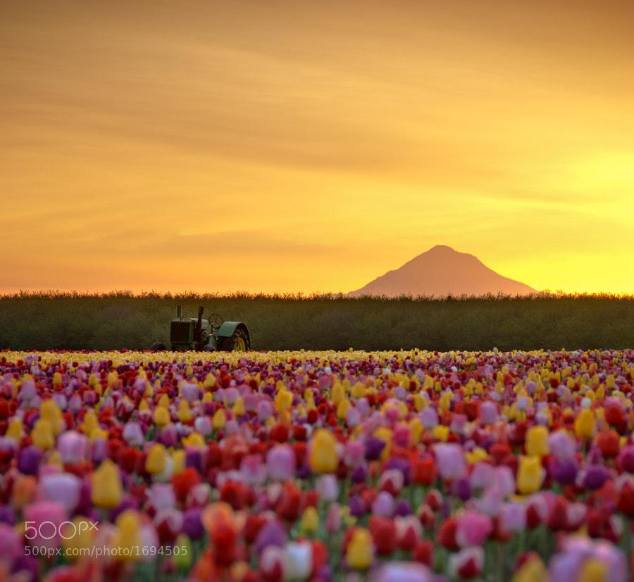 Deere in the Tulip Fields. by Jay D. (Deej) on 500px.com