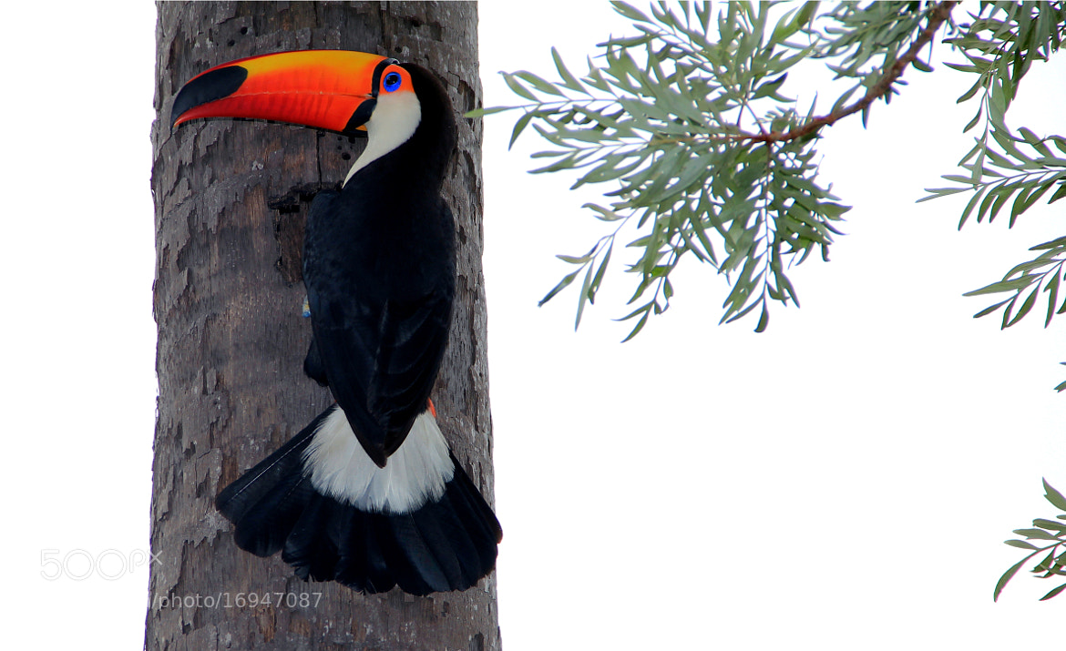 Photograph Touco Tucan...going to the nest!! by Itamar Campos on 500px