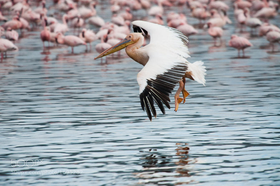 Photograph Pelican and Flamingos by Sam Gellman on 500px