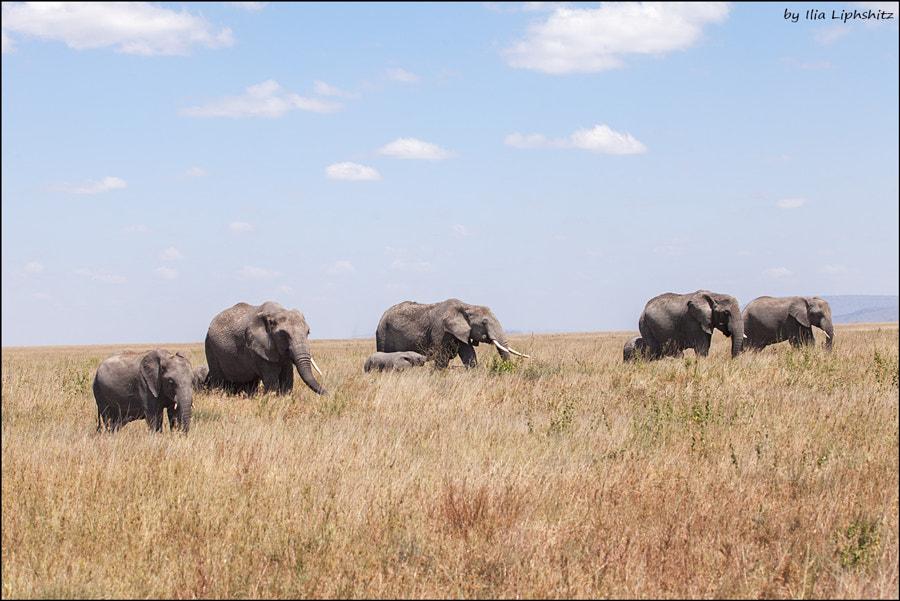 Elephants of Serengeti №7