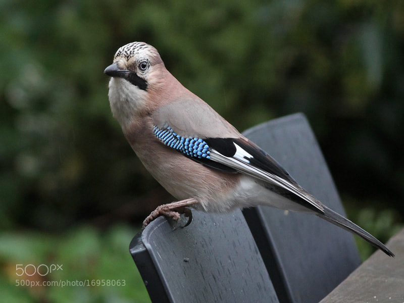 Photograph Eurasian Jay by Aat Bender on 500px