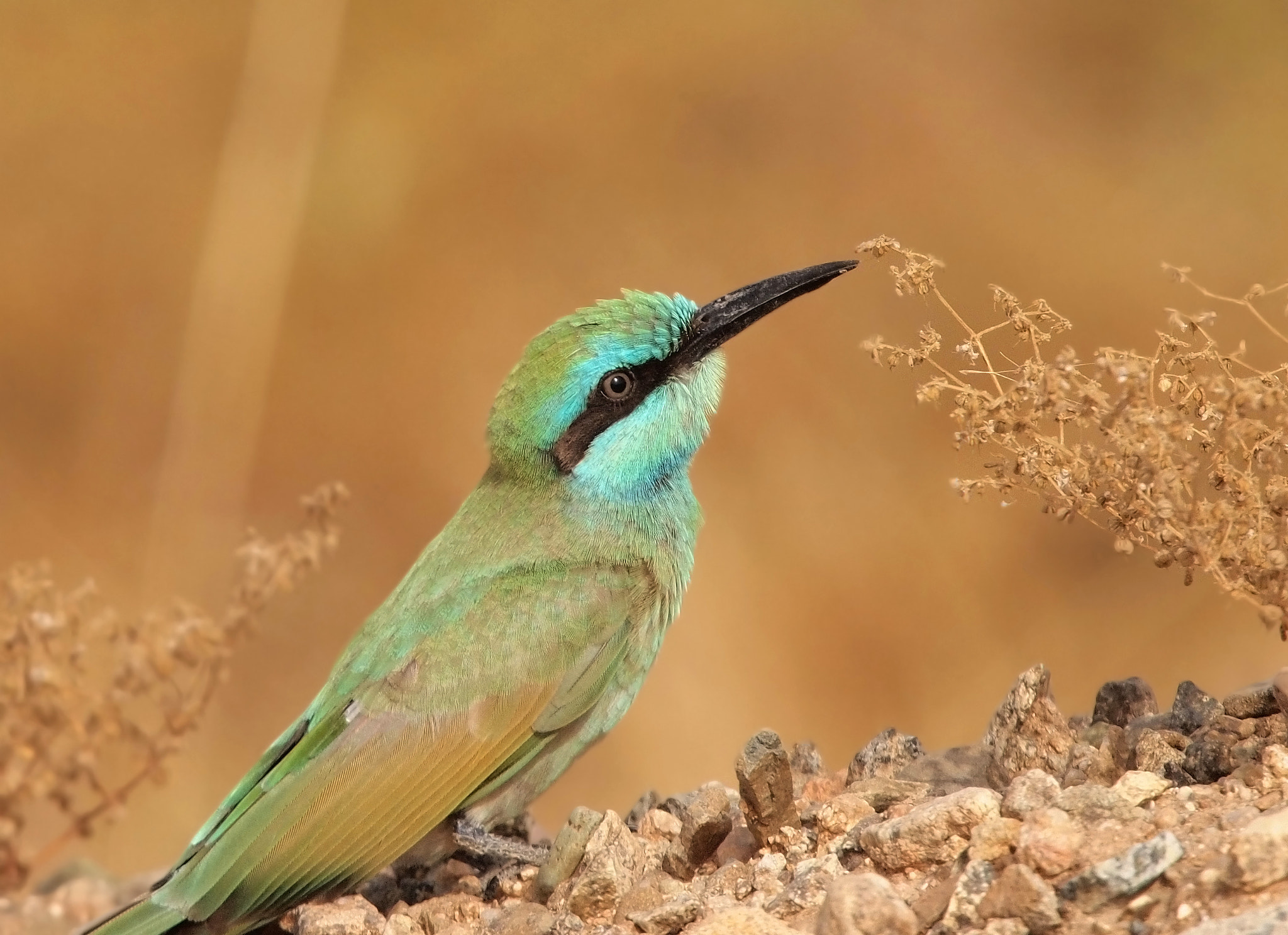 Photograph young Little green bee eater by ammadoux on 500px