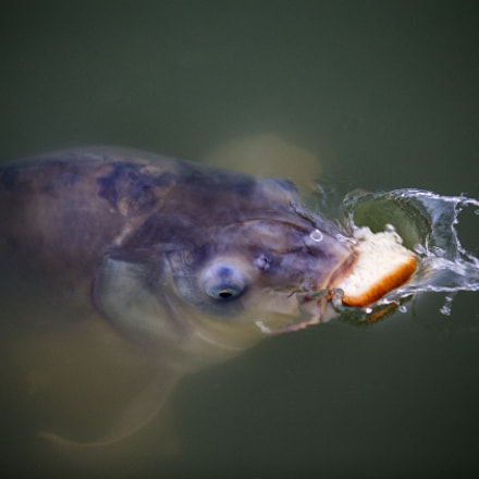 Hungry fish, Canon EOS-1D X, Canon EF 200mm f/2.8L II
