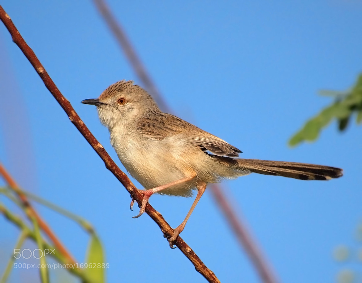 Photograph Graceful Prinia by ammadoux doux on 500px