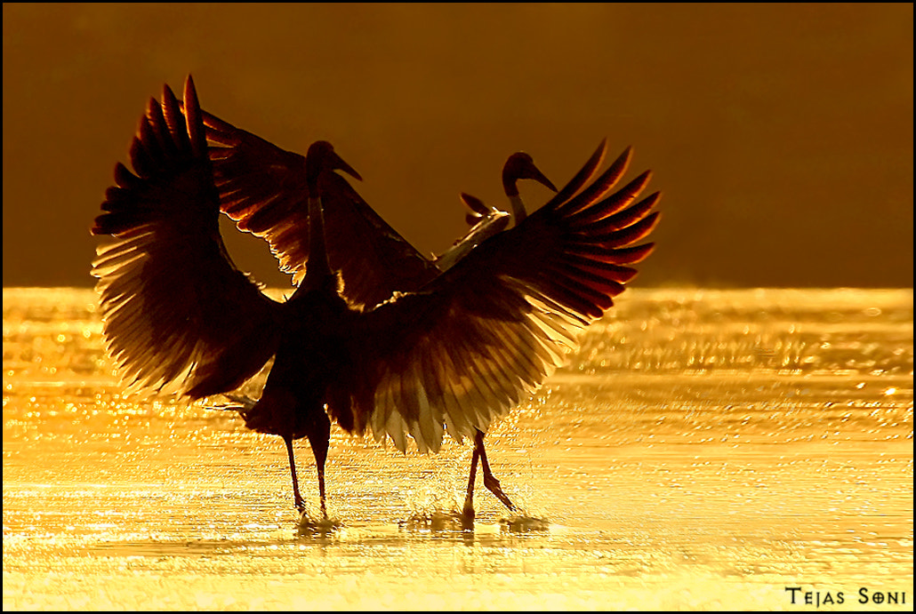 "Photograph ""Dancing Sarus"" by Tejas Soni on 500px"