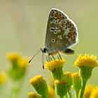 Common Blue holding yellow flowers