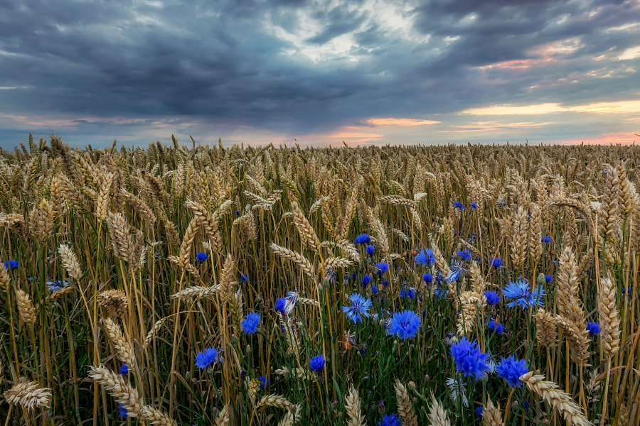 Cornflowers by Martin Worsøe Jensen on 500px.com