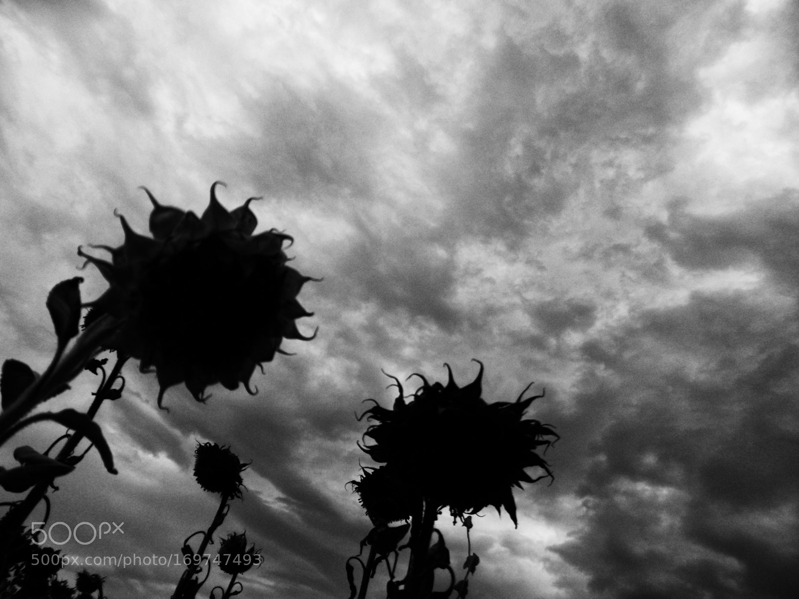 Sunflowers fall, Panasonic DMC-SZ8