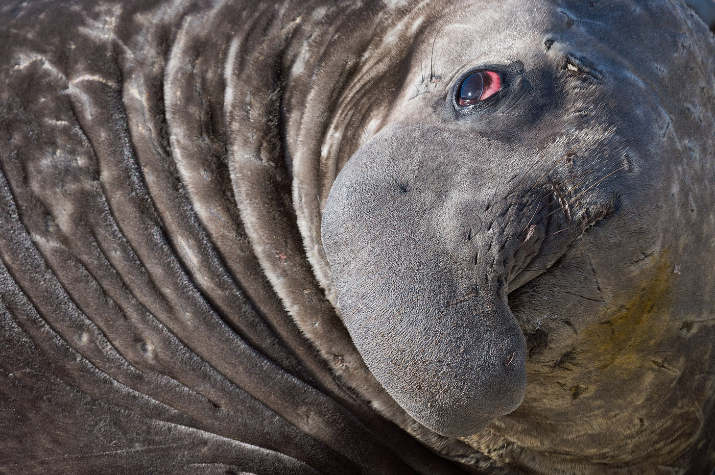 Photograph Portrait of Happy Elephant Seal by Mike Reyfman on 500px
