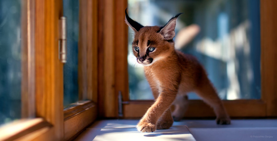 The little caracal von Sergey Polyushko auf 500px.com