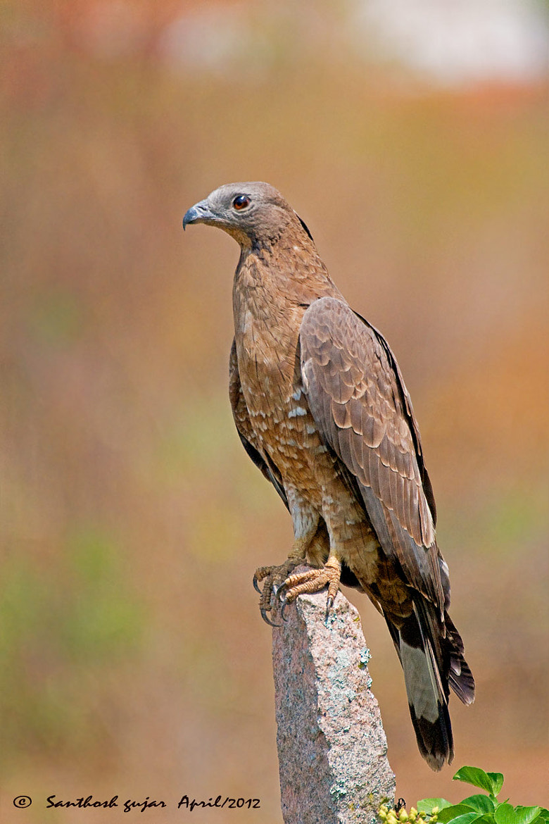 Photograph Close encounters--Oriental Honey Buzzard. by Santhosh Gujar on 500px
