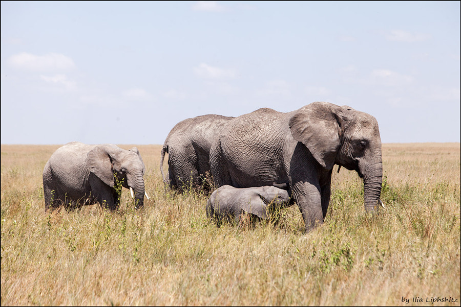 Elephants of Serengeti №8