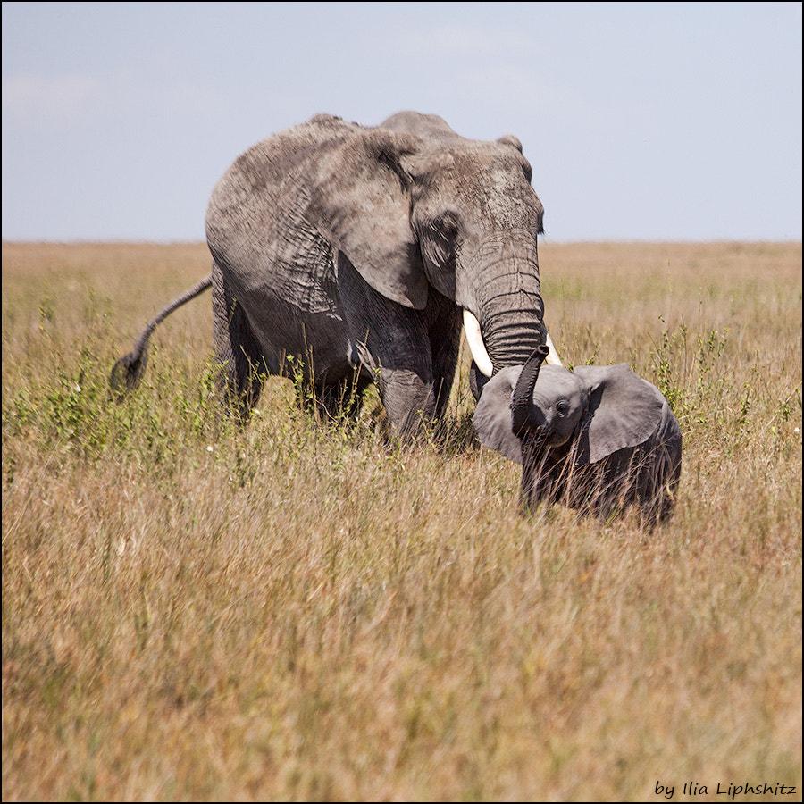 Elephants of Serengeti №9
