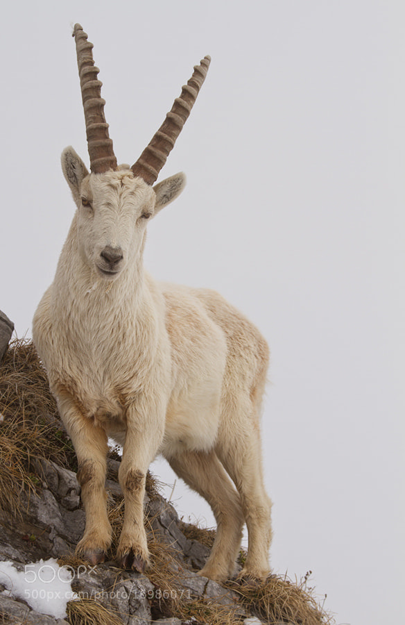 Photograph White ibex by Gilles Monney on 500px