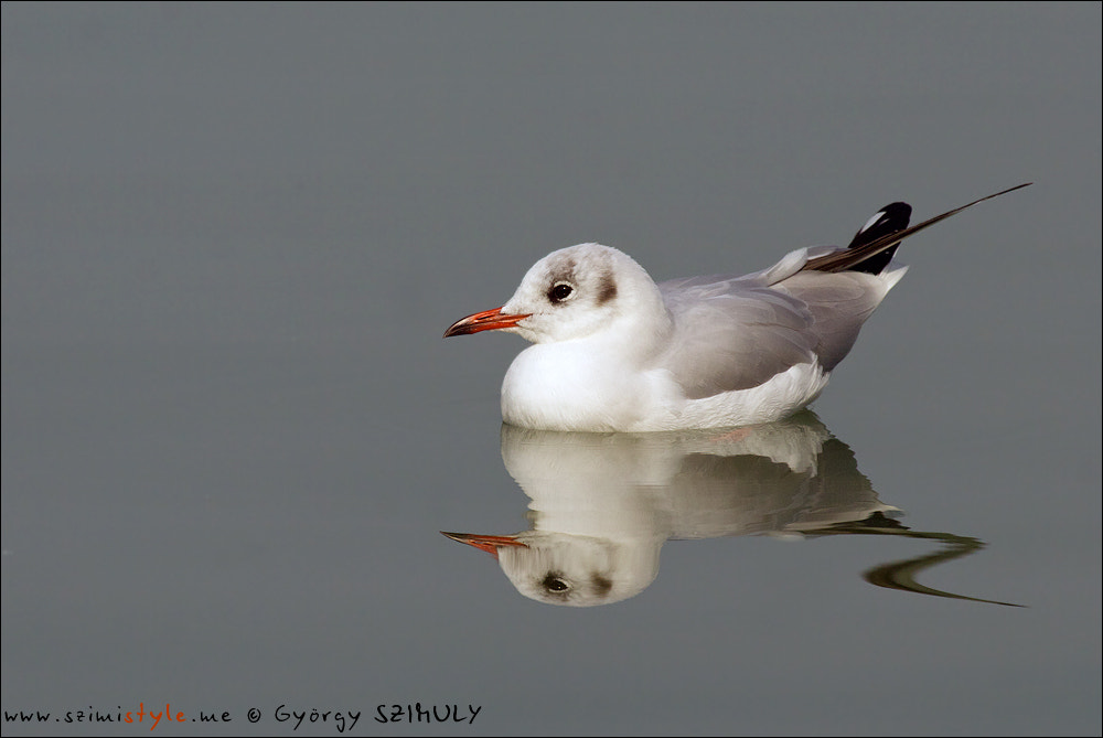 Photograph Black-headed Gull (Chroicocephalus ridibundus) by Gyorgy Szimuly on 500px