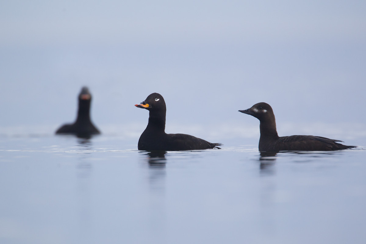Photograph Velvet Scoters from a misty morning by Daniel Pettersson on 500px