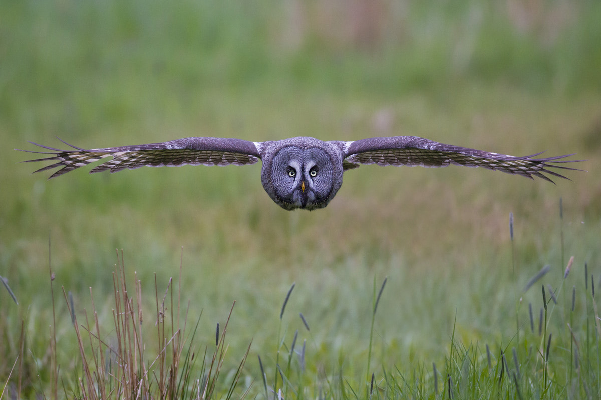 Photograph Great Grey Owl on the hunt by Daniel Pettersson on 500px
