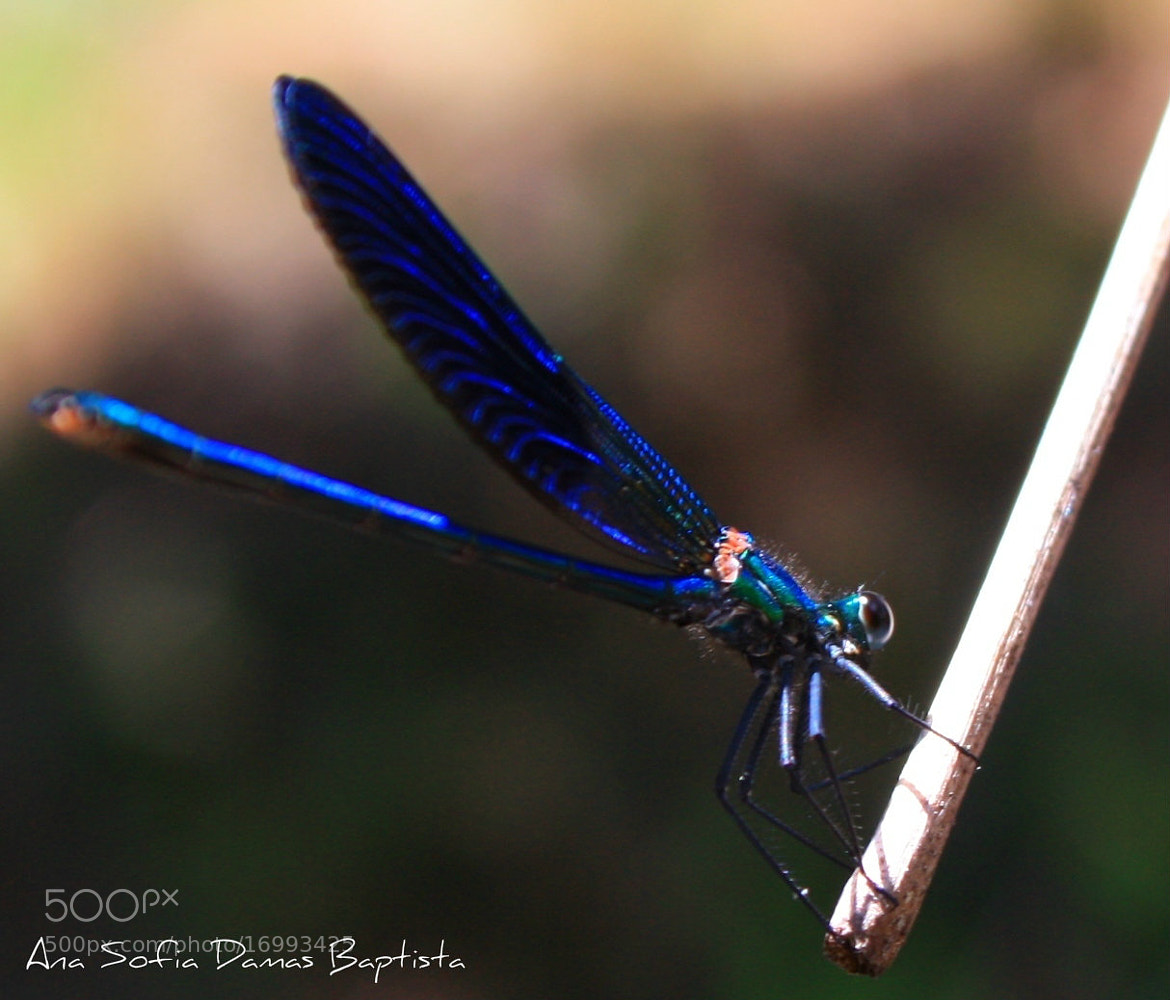Photograph Blue Dragonfly by Ana Sofia Baptista on 500px
