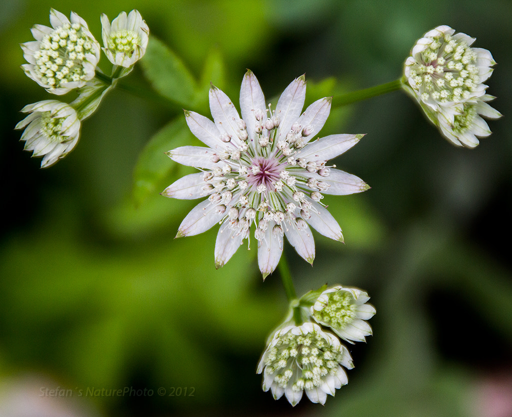 Photograph Astrantia by Stefan Gustavsson on 500px