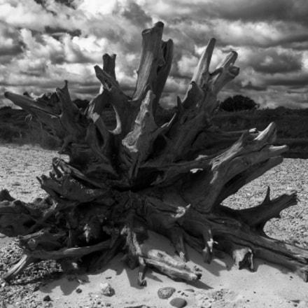 Dead Beach Tree