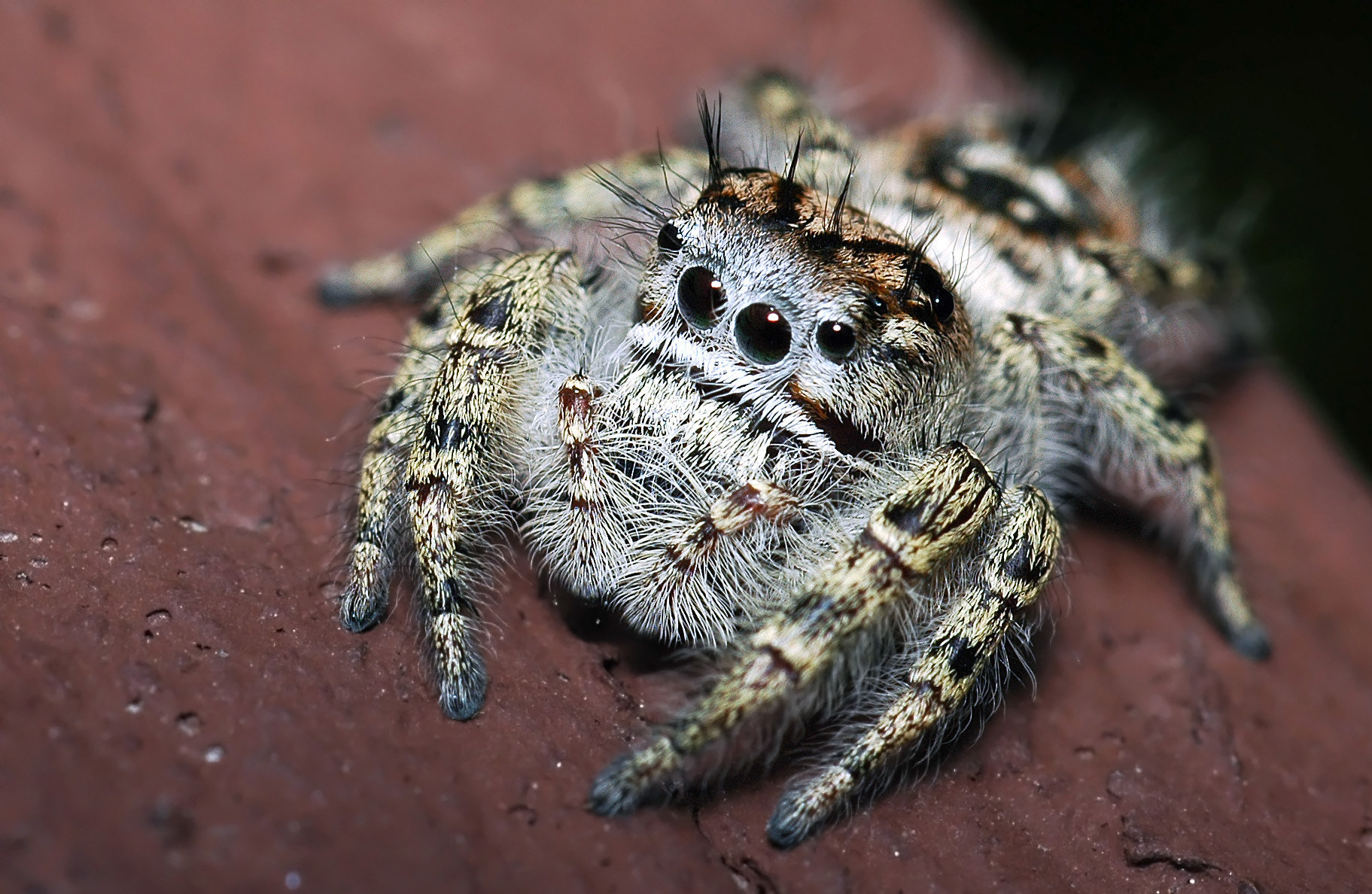 Photograph Phidippus putnami  by Enkased  on 500px