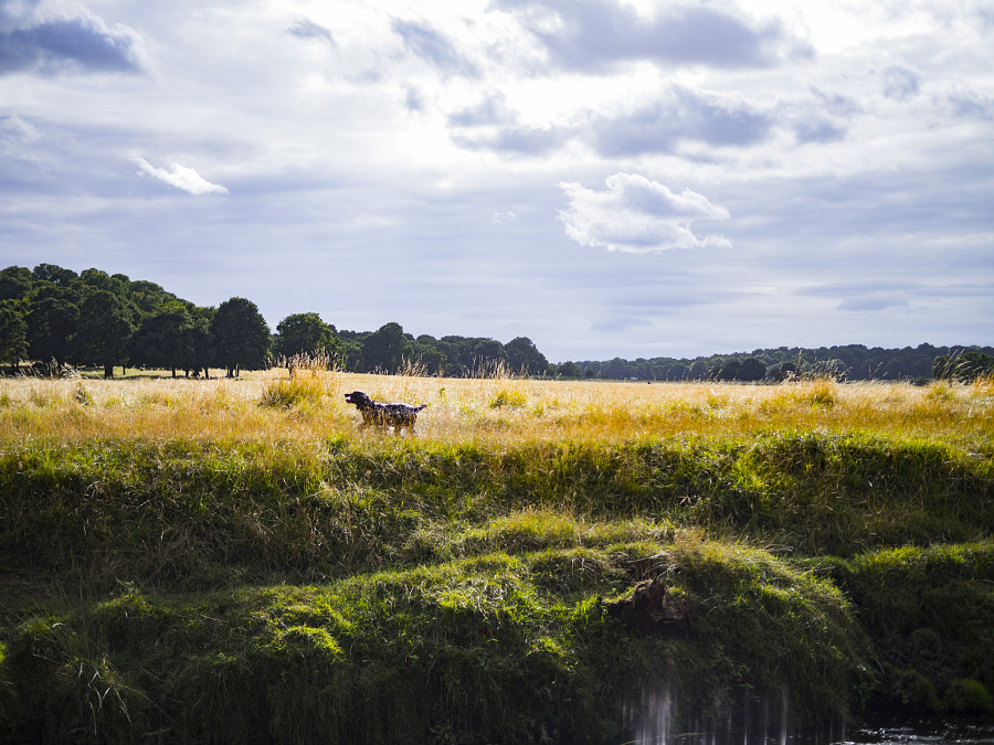 Dog Running in Richmond Park - London, UK