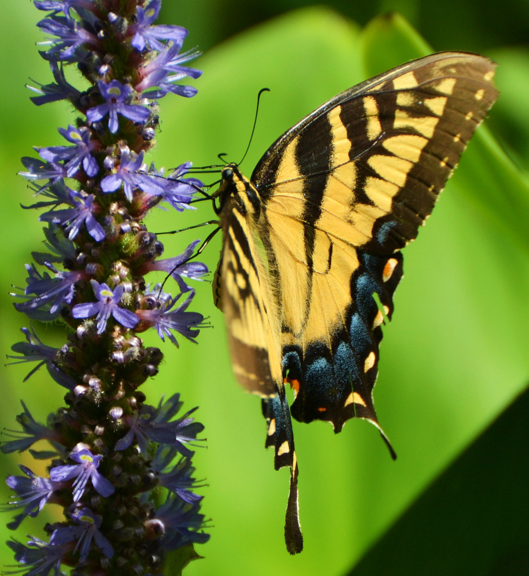 Photograph Butterfly/Jacksonville by Michael Fitzsimmons on 500px