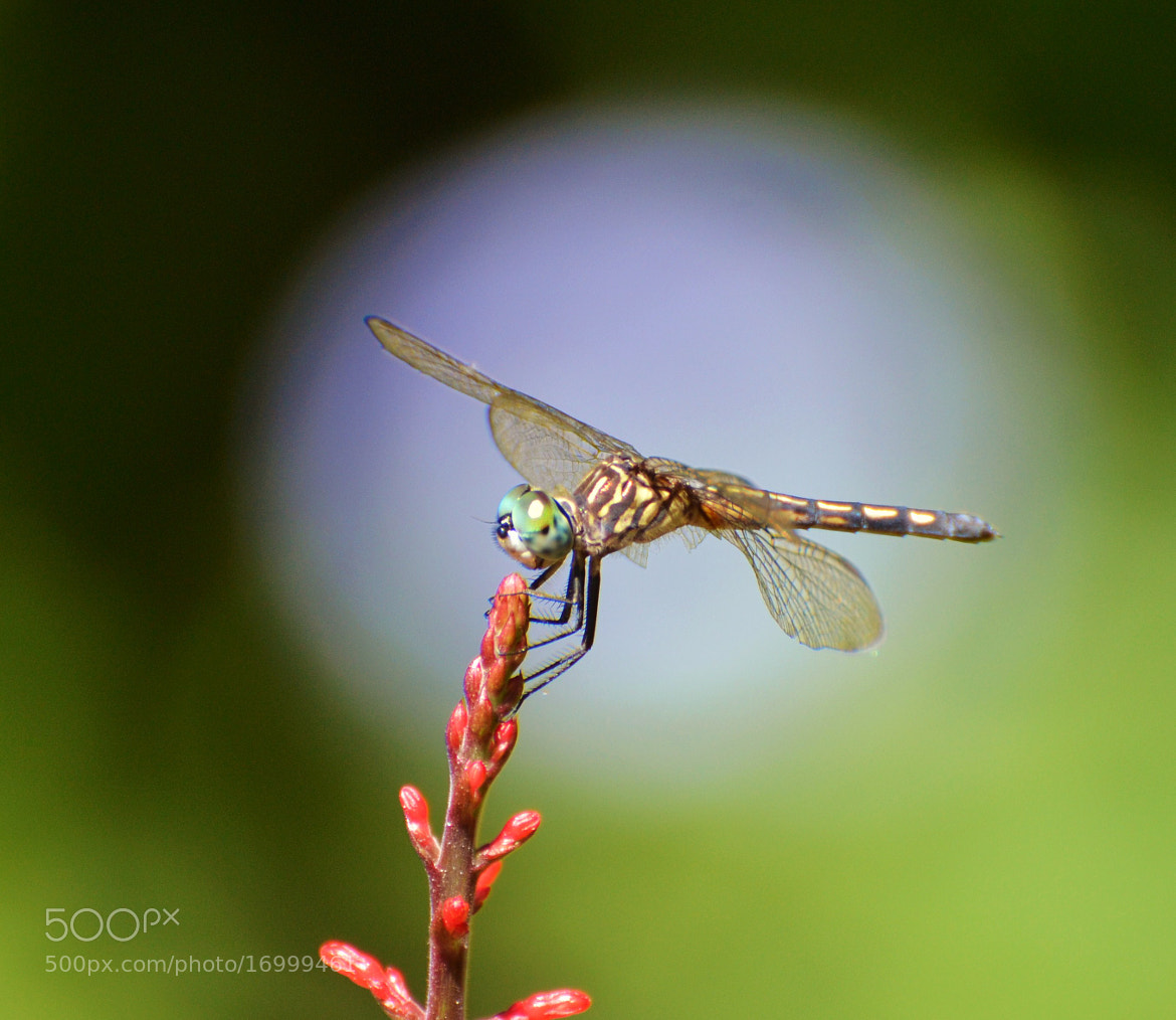 Photograph Dragonfly Eclipse by Michael Fitzsimmons on 500px