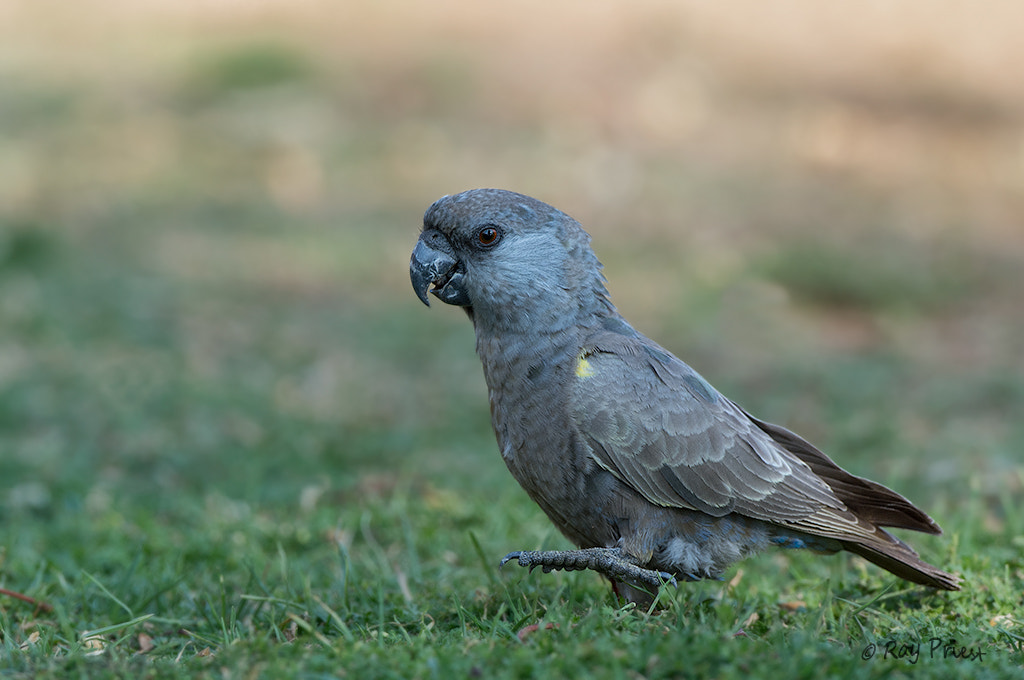 """Photograph Rupell""""s Parrot by Roy Priest on 500px"""