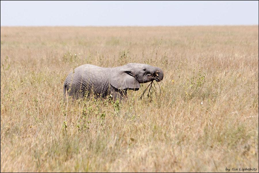Baby elephant trying to eat something other than milk - Elephants of Serengeti №10