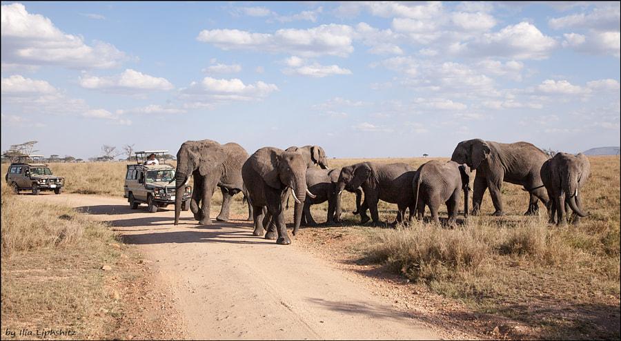 Heavy traffic - Elephants of Serengeti №11