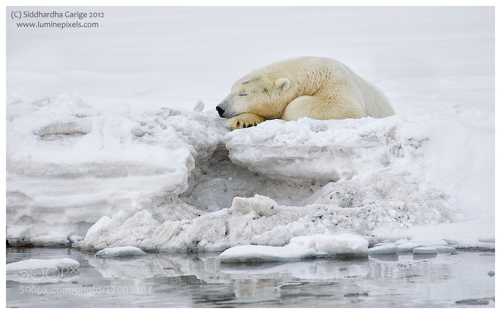 Photograph Ice Bears of Arctic - 4 by Siddhardha Garige on 500px
