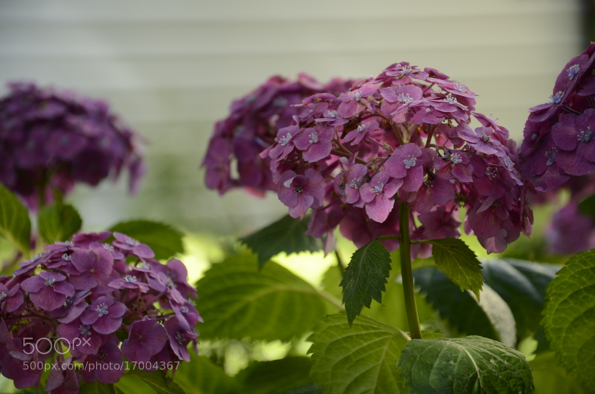 Photograph hydrangea by Claire Hu on 500px