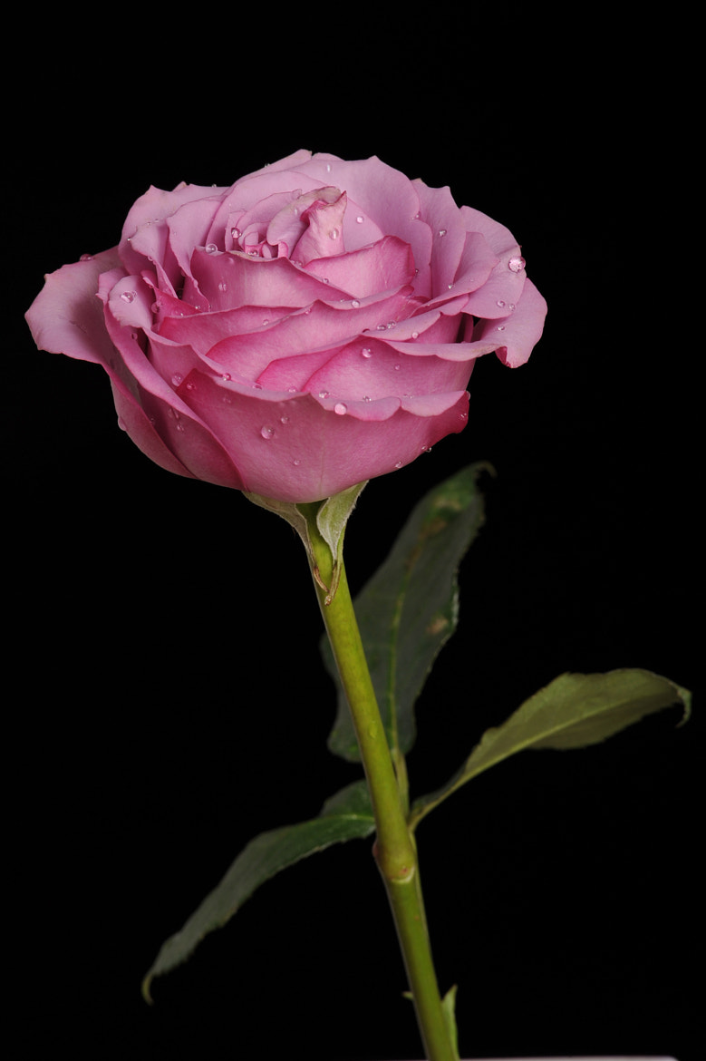 Photograph Rose in pink tone by Cristobal Garciaferro Rubio on 500px
