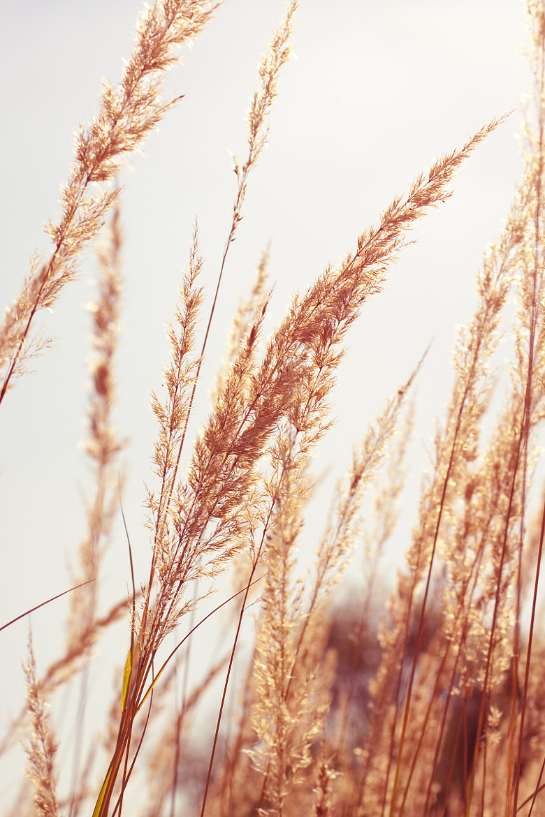 Photograph Stems of grass in sunlight by Elena Rakhuba on 500px
