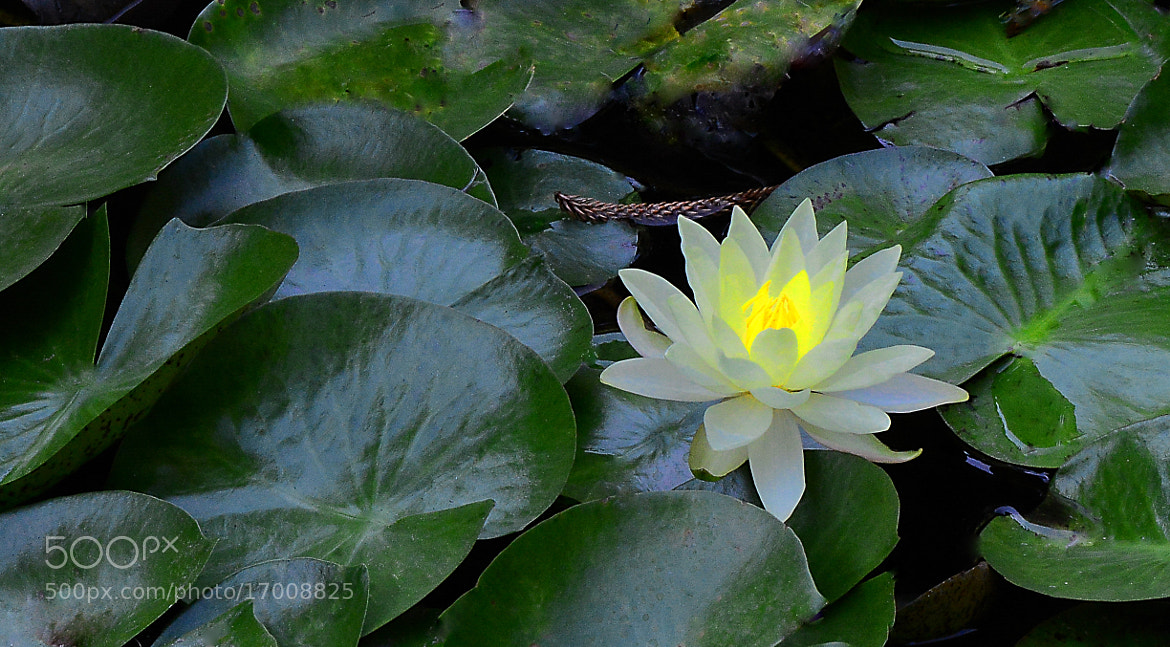 Photograph Water Lily by Cris T on 500px