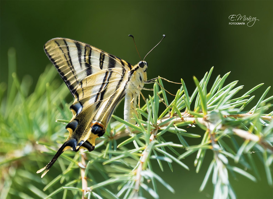 Iphiclides Podalirius by Eduardo Muñoz on 500px.com
