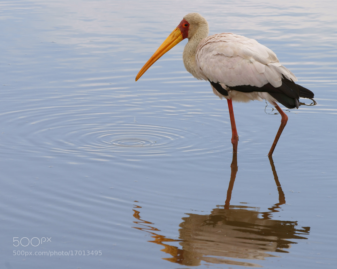 Photograph Yellow billed Stork by Lillian Arnold on 500px