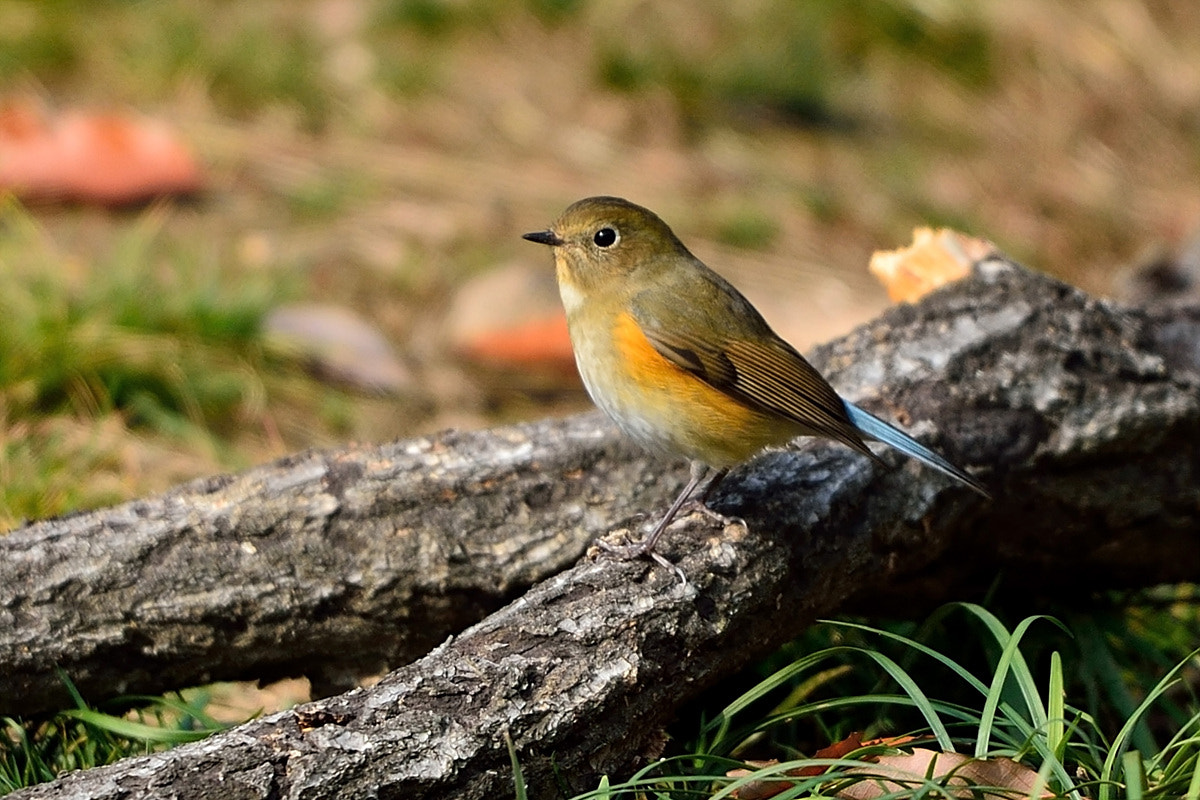 Photograph Orange-flanked Bush Robin (Female) by Young Sung Bae on 500px