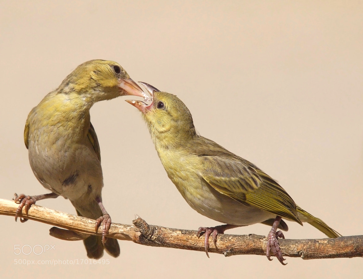 Photograph Mamma weaver feeding the young by ammadoux on 500px