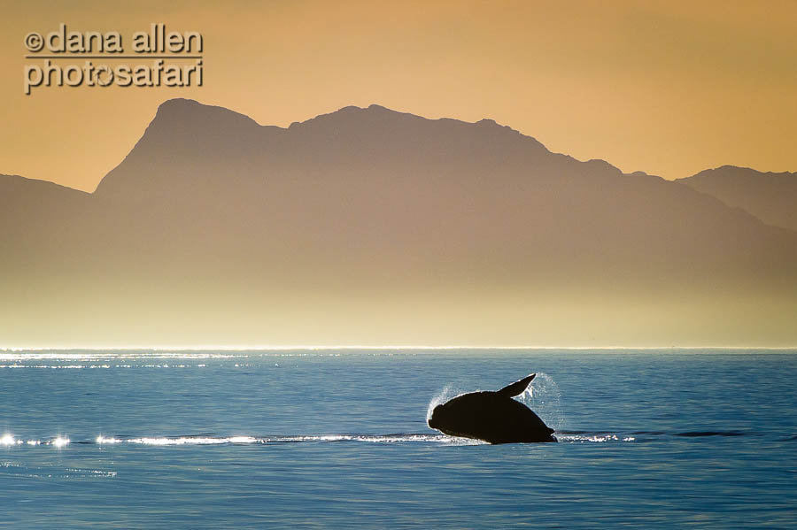 Photograph Southern Right Whale, Gansbaai South Africa by Dana Allen on 500px