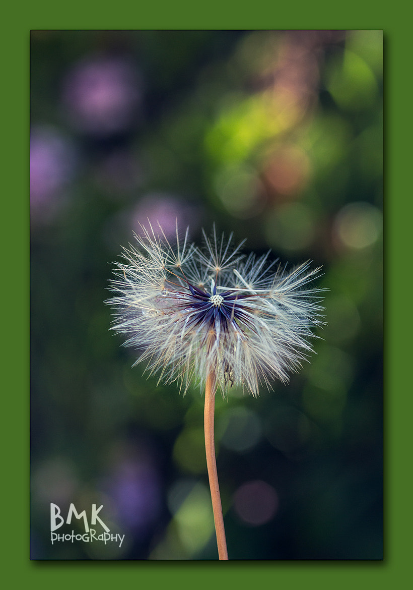 Photograph Just a Dandelion by Bianca K on 500px