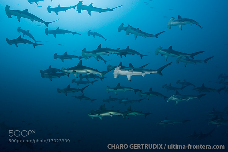 Photograph Hammerhead by Charo Gertrudix on 500px