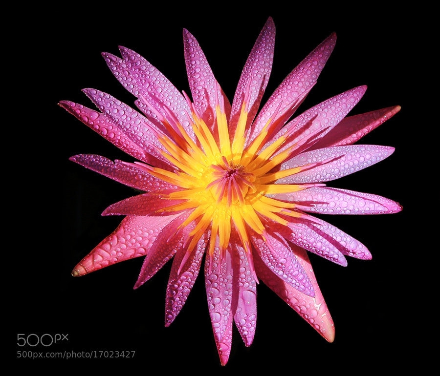 Photograph Pink Lotus by Prachit Punyapor on 500px